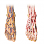 Bases anatomiques & rôle du pied